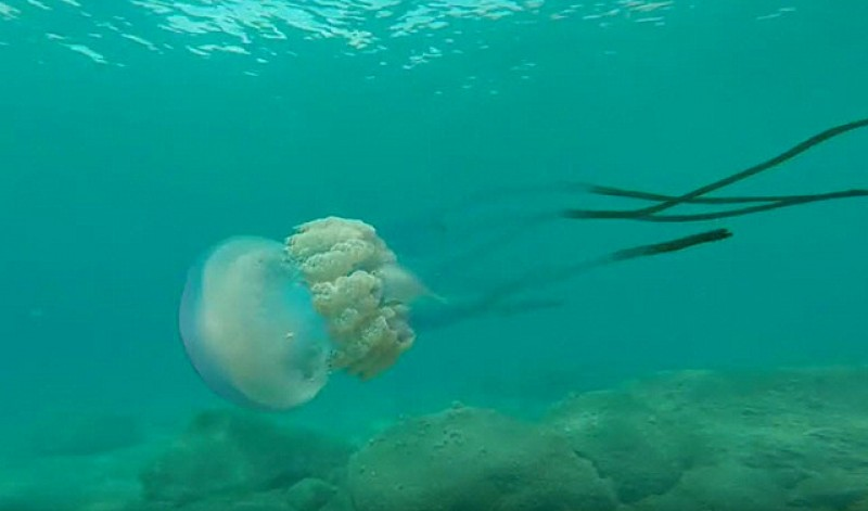 <span style='color:#780948'>ARCHIVED</span> - Biologists warn of increased jellyfish numbers along the Mediterranean coast