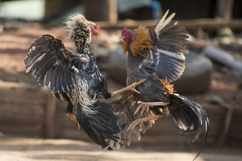 <span style='color:#780948'>ARCHIVED</span> - Police in Cartagena put an end to illegal cockfights at animal feed shop in Molinos Marfagones